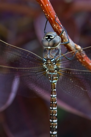 a macro shot of a large dragonfly Stock Photo