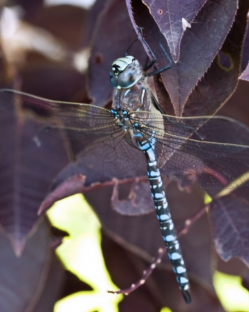 A blue dragonfly on purple leaves