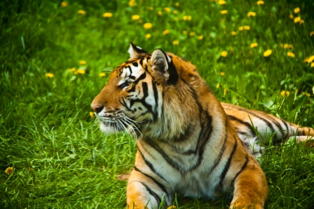 a tiger lying on the grass, looking out