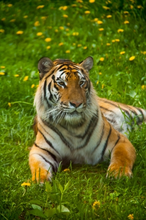 a tiger lying on the grass, looking out Stock Photo - 14518633