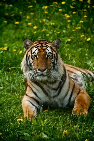 a tiger lying on the grass, looking straight out  Stock Photo