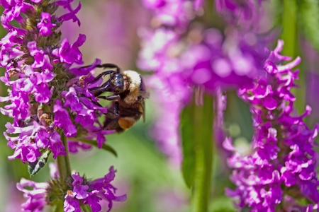 A queen bee gathering nectar from lavendar flowers Stock Photo