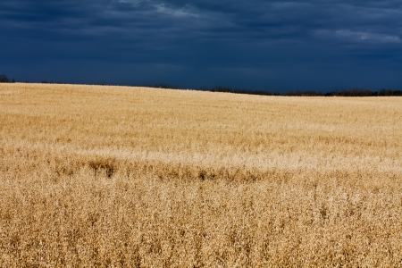 A sunny oat field ready for harvest Stock Photo