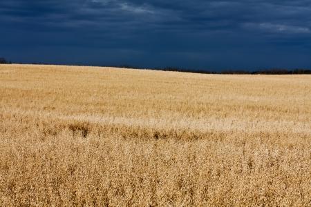 A sunny oat field ready for harvest Фото со стока