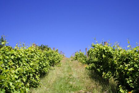 Lush, green vineyard on hill in summer Stock Photo