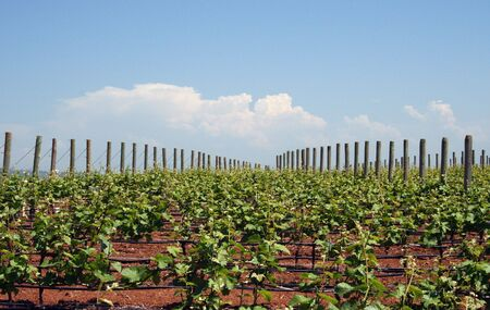 Young grape vines in Spring reaching for the sky