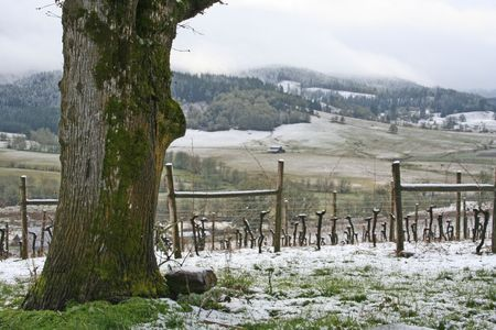 A beautiful snow covered vineyard in winter
