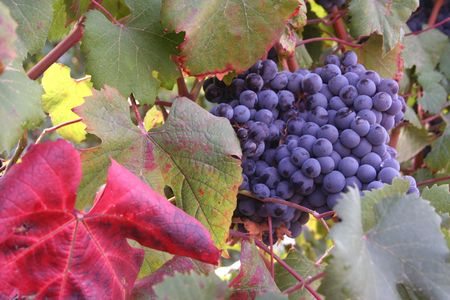 Ripe pinot noir grape clusters ready for harvest