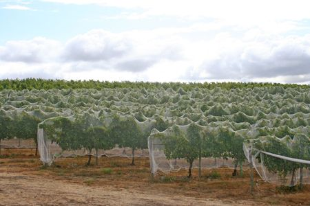 Rows of vines covered in netting to keep out birds