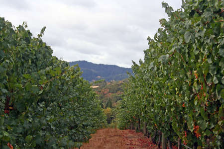 Lush grape vine row on a hill Stock Photo