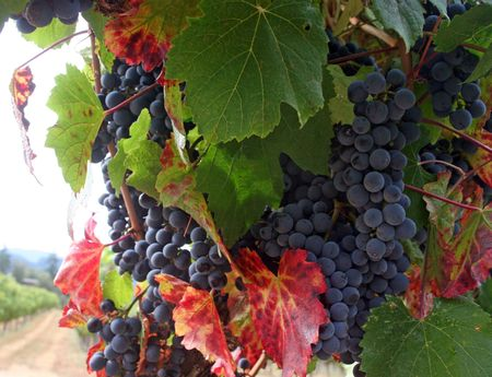 grape seed: Ripe Grapes Ready for Harvest