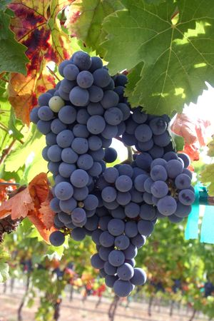 Ripe wine grapes ready for harvest in autumn
