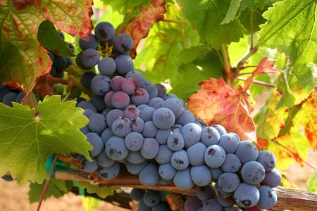 grape seed: Ripe pinot noir ready for harvest