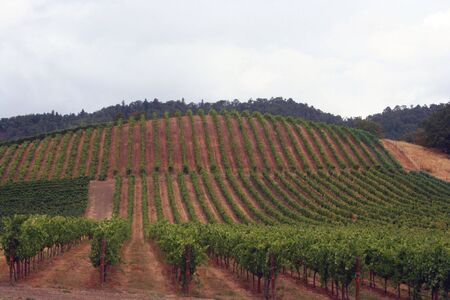 Well maintained vineyard with straight vine rows