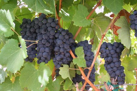 Clusters of wine grapes ripening on the vine