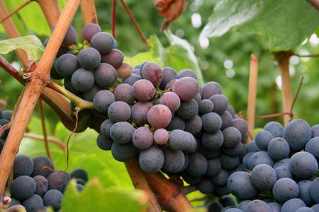 changing color: Wine grapes are almost done changing color