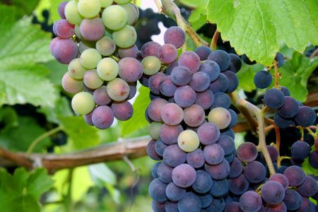 Grape clusters changing color during veraison