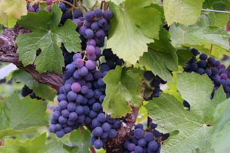 changing color: Oscuro uvas cambiando de color durante el envero Foto de archivo