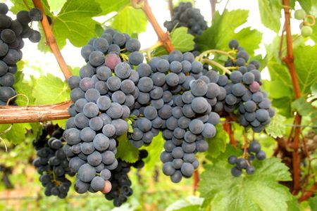 growers: Ripening grape clusters on the vine