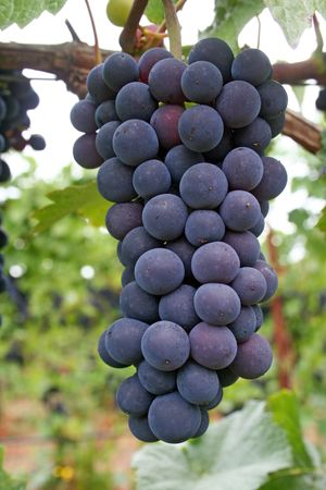 growers: Ripening pinot noir grapes
