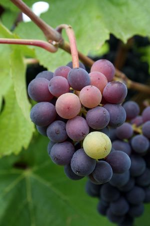 changing colors: Small grape cluster changing colors