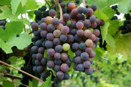 Grapes changing color during veraison