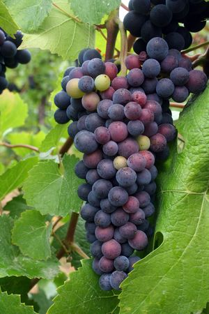 Grape cluster changing color from green to ripe purple