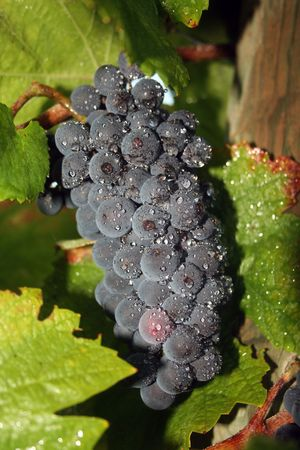 Ripening wine grapes covered in rain droplets