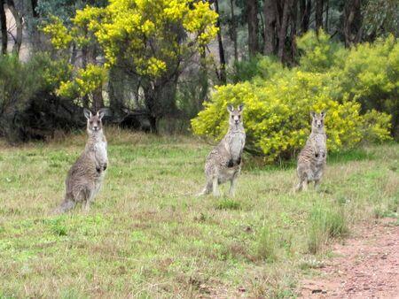 nsw: Kangaroos in Mudgee, NSW, Australia