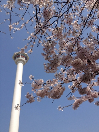 first sight: Taken in Busan South Korea in spring 2013. The first sight of sakura flowers in spring. Location at Busan Tower.