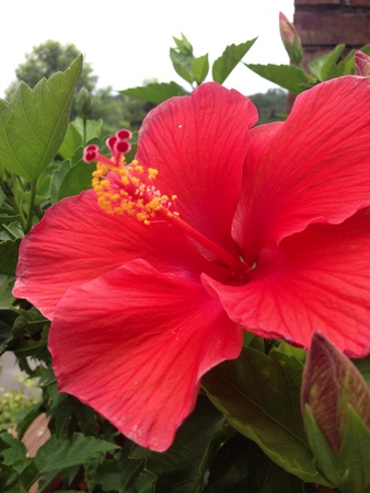 A red hibiscus
