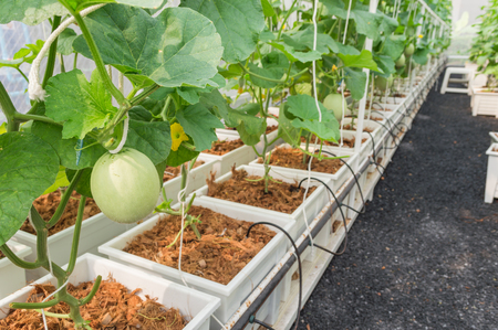 Young of Japanese melons or green melons and cantaloupe melon plants growing in hydroponic farm. Agriculture concept.