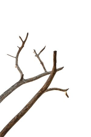 Dead tree isolated on white background, Dead branches of a tree.Dry tree branch.Part of single old and dead tree on white background. R