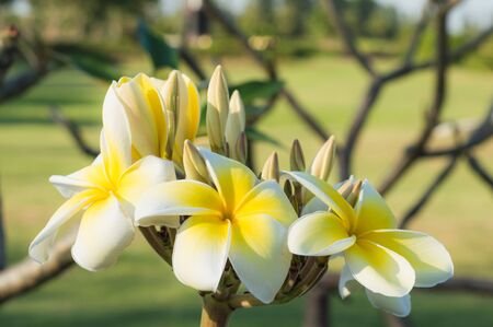 Close up of Bouquet white and yellow Plumeria or Frangipani flower (Hawaii, Hawaiian Lei Flower, Bali Indonesia, Shri-Lanka, Spa)  on branch tree in morning garden background  with Sunlight. Banco de Imagens - 137890761
