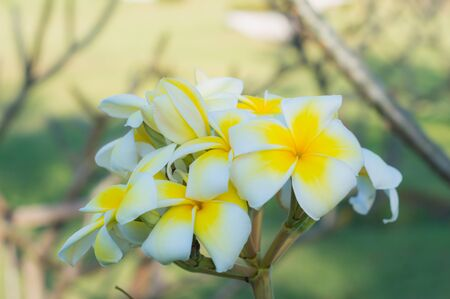Close up of Bouquet white and yellow Plumeria or Frangipani flower (Hawaii, Hawaiian Lei Flower, Bali Indonesia, Shri-Lanka, Spa)  on branch tree in morning garden background  with Sunlight.