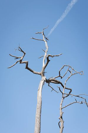 Dead tree trunk under cloudy blue sky background.Dry wood branches standing alone against the blue sky use for background,Shows the cause of natural disaster and global warming.Environment concept.