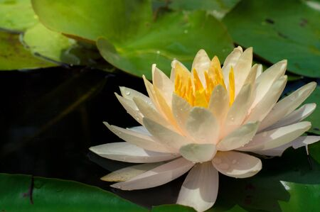 This beautiful water lily or lotus flowers blooming at the pond  with green leaves as background.Blooming white and yellow  Lotus flower or Nymphaea nouchali  is a water lily of genus Nymphaea Archivio Fotografico - 138043867