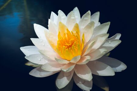 This beautiful water lily or lotus flowers blooming at the pond  with green leaves as background.Blooming white and yellow  Lotus flower or Nymphaea nouchali  is a water lily of genus Nymphaea Archivio Fotografico - 138043870