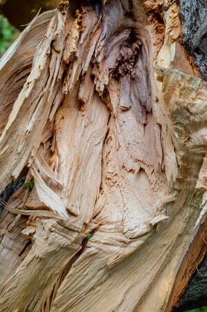Close up on a broken tree trunk wood shrapnels.Macro texture of broken wood fiber.A Wooden background textured horisontal pattern in brown colors - broken tree