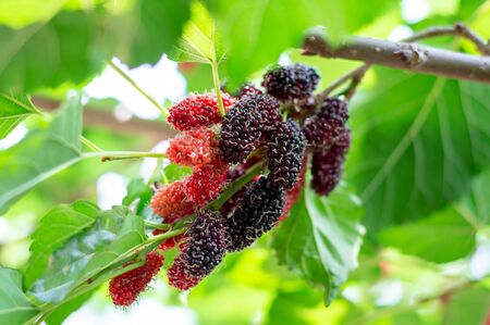 Organic Mulberry fruit tree and green leaves. Black ripe and red unripe mulberries on the branch of tree. Red purple mulberries on tree.fresh mulberry provides fiber and nutrients highly beneficial. Standard-Bild