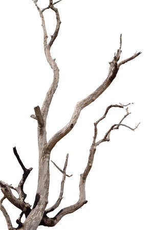 Dry branchs of dead tree with cracked dark bark.beautiful dry branchs of tree isolated on white background.Dry wooden stick from the forest isolated on white background .