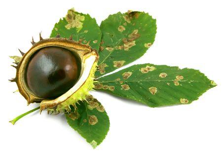 Chestnut in shell on horse chestnut leaf.