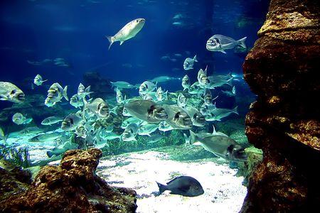 Shoal of beautiful small blue aquarium fishes.