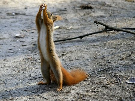 scavenging: A red squirrel wth hands up.