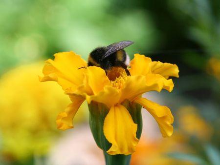 gadfly: Gadfly on yellow flower.