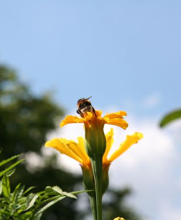 gadfly: Gadfly on yellow flower preparing to fly. Stock Photo