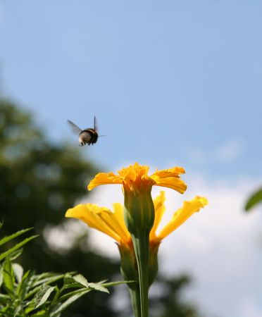 gadfly: Gadfly flying over the yellow flower.