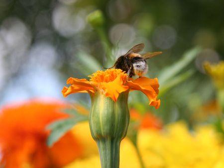 gadfly: Gadfly on orange flower.