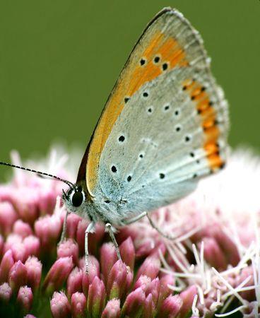 plexippus: Orange butterfly macro. Stock Photo