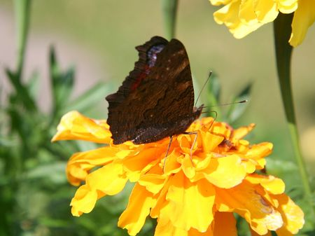 Butterfly on yellow flower. photo